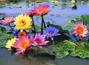 Gorgeous lotus blossoms